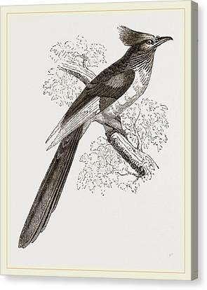 Le Vaillants Cuckoo Canvas Print by Litz Collection