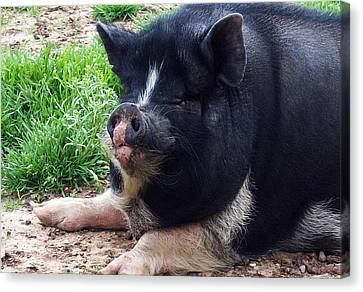 Leadbelly Curious Piggy Canvas Print