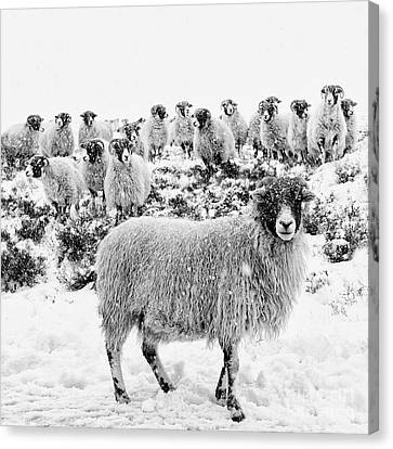 Leader Of The Flock Canvas Print by Janet Burdon