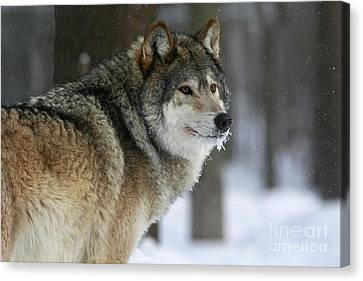 Leader Of The Pack Canvas Print by Inspired Nature Photography Fine Art Photography