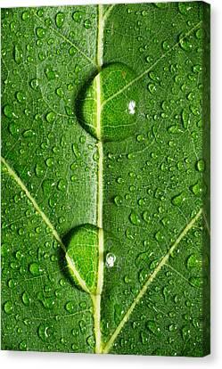 Leaf Dew Drop Number 10 Canvas Print by Steve Gadomski