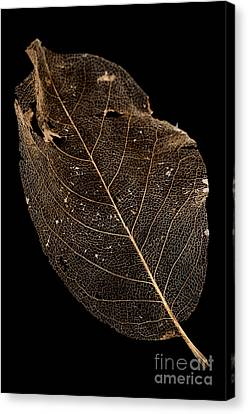 Leaf Lace Canvas Print by Anne Gilbert