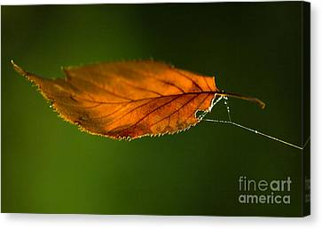 Leaf On Spiderwebstring Canvas Print by Iris Richardson