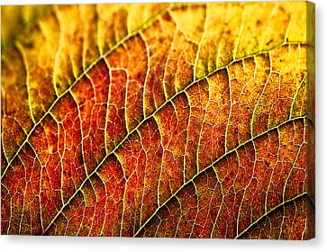 Leaf Rainbow Canvas Print by Crystal Hoeveler