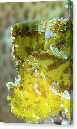 Leaf Scorpionfish On A Reef Canvas Print by Louise Murray