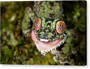 Leaf-tailed Gecko Canvas Print by Alex Hyde