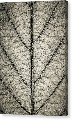 Leaf Texture In Sepia Canvas Print