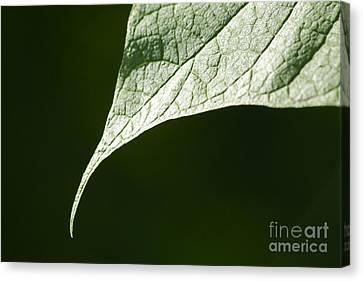 Leaf Canvas Print by Tony Cordoza