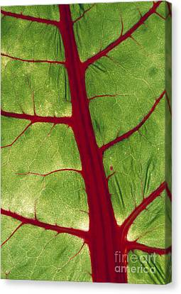 Leaf Veins Canvas Print by D. Nunuk