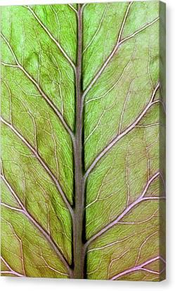 Perennial Canvas Print - Leaf Veins Of Cardiocrinum Giganteum by Dr Jeremy Burgess