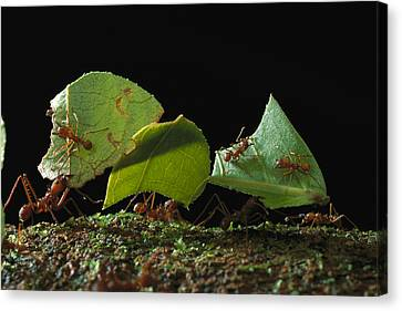 Leafcutter Ant Ants Taking Leaves Canvas Print by Mark Moffett