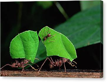 Leafcutter Ant Atta Sp Group Workers Canvas Print by Michael and Patricia Fogden