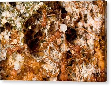 Leafcutter Ant Atta Texana Colony Canvas Print by Gregory G. Dimijian