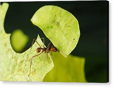 Leafcutter Ant Carrying Freshly Cut Canvas Print by Konrad Wothe