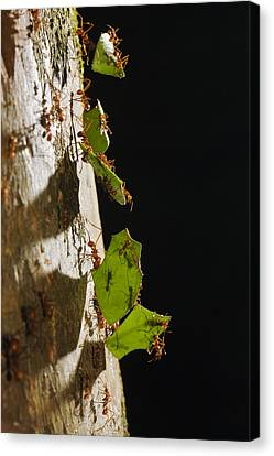 Leafcutter Ant Carrying Leaves Costa Canvas Print by Konrad Wothe