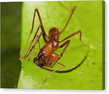 Leafcutter Ant Cutting Leaf Costa Rica Canvas Print by Konrad Wothe