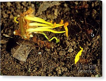 Leafcutter Ants Carrying Flower Canvas Print by Gregory G. Dimijian, M.D.
