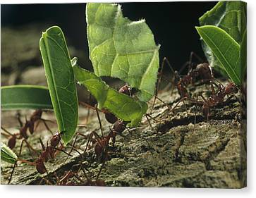 Leafcutter Ants Carrying Leaves Barro Canvas Print by Mark Moffett