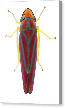 Leafhopper Estabrook Woods Canvas Print by Piotr Naskrecki