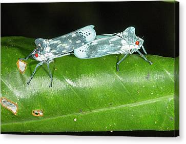 Leafhoppers Mating Canvas Print by Dr Morley Read