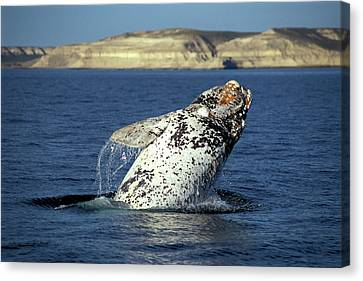 Leaping Southern Right Whale, Eubalaena Canvas Print by Javier Etcheverry