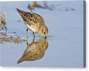 Least Sandpiper With A Reflection  Canvas Print by Ruth Jolly