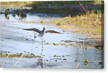 Least Sandpiper Water Landing Canvas Print