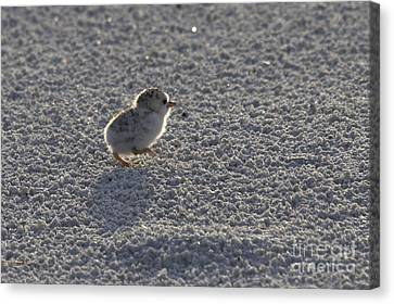 Least Tern Chick Canvas Print by Meg Rousher