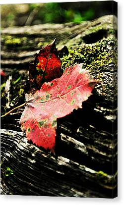 Leaves And Morning Light Canvas Print by Chastity Hoff