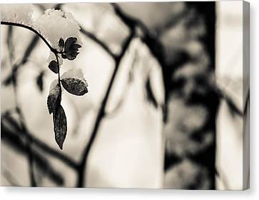 Leaves And Snow Canvas Print by Andreas Levi
