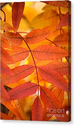 Leaves Of Gold Canvas Print by Deb Halloran