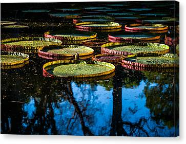 Leaves Of Victoria Regia With Trees Reflections. Royal Botanical Garden In Mauritius Canvas Print