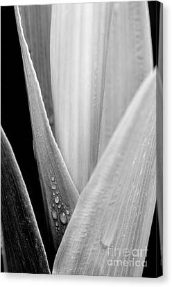 Simple Beauty In Colors Canvas Print - Leaves Stalk Raindrops by Thomas R Fletcher