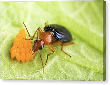 Eating Entomology Canvas Print - Lebia Grandis Beetle Eating Eggs by Peggy Greb/us Department Of Agriculture
