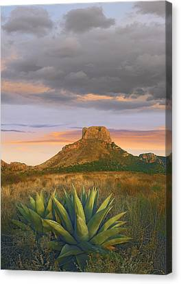 Lechuguilla Agave And  Casa Grande Big Canvas Print by Tim Fitzharris