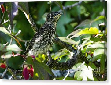 Left The Nest Canvas Print by Judy Wolinsky