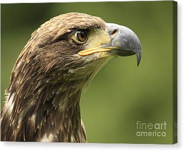 Legendary Juvenile Bald Eagle  Canvas Print by Inspired Nature Photography Fine Art Photography