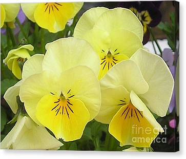 Lemon Beauties Canvas Print by Joanne Simpson
