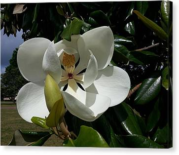 Lemon Magnolia Canvas Print by Caryl J Bohn