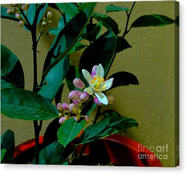 Lemon Tree Flower Canvas Print by Al Bourassa
