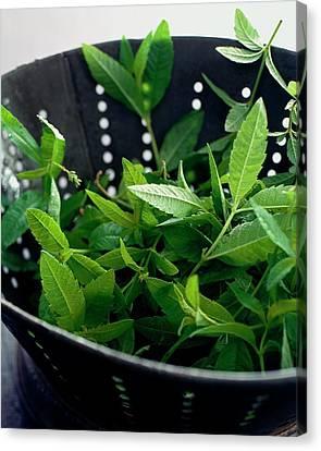 Lemon Verbena Herbs Canvas Print