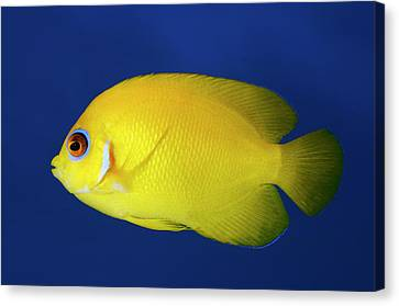 Lemonpeel Angelfish Canvas Print