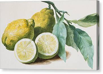 Lemons Canvas Print by Pierre Joseph Redoute