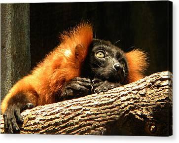 Lemur In Longing Canvas Print