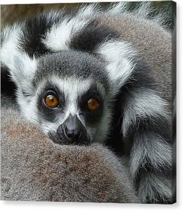Lemur Leisure Time Canvas Print by Margaret Saheed