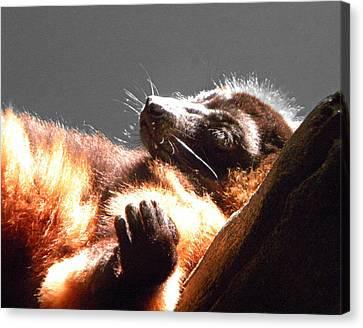 Lemur Lounging Canvas Print