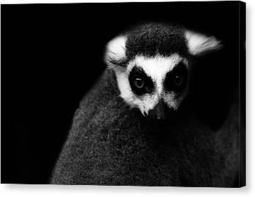 Lemur Canvas Print by Martin Newman