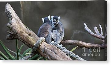 Lemur's Canvas Print by Shannon Rogers