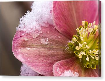 Canvas Print featuring the photograph Lenten Rose by Cathy Donohoue