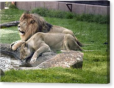 Leo And Una - Twin Male And Female Lions At The University Of North Alabama Canvas Print